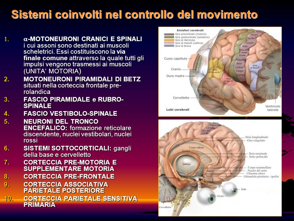 6 Sistemi coinvolti nel controllo del movimento -MOTONEURONI CRANICI E SPINALI i cui assoni sono destinati ai muscoli scheletrici. Essi costituiscono