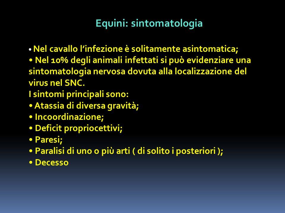 Equini: sintomatologia Nel cavallo linfezione è solitamente asintomatica; Nel 10% degli animali infettati si può evidenziare una sintomatologia nervos