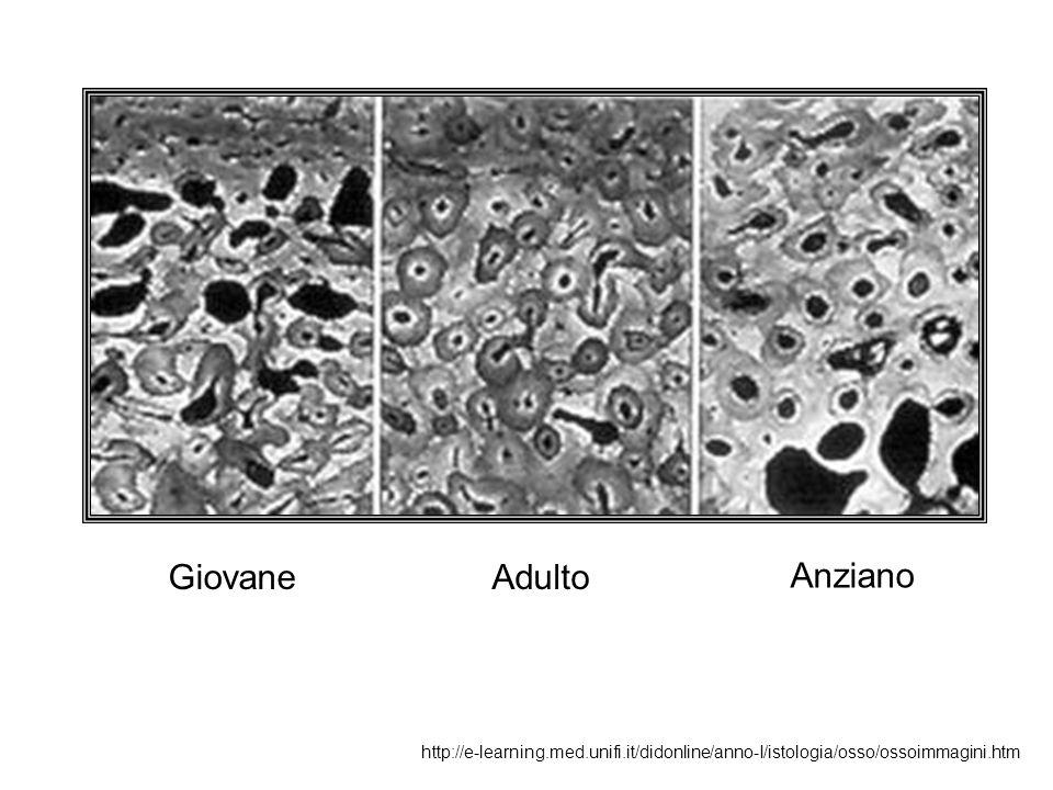 GiovaneAdulto Anziano http://e-learning.med.unifi.it/didonline/anno-I/istologia/osso/ossoimmagini.htm
