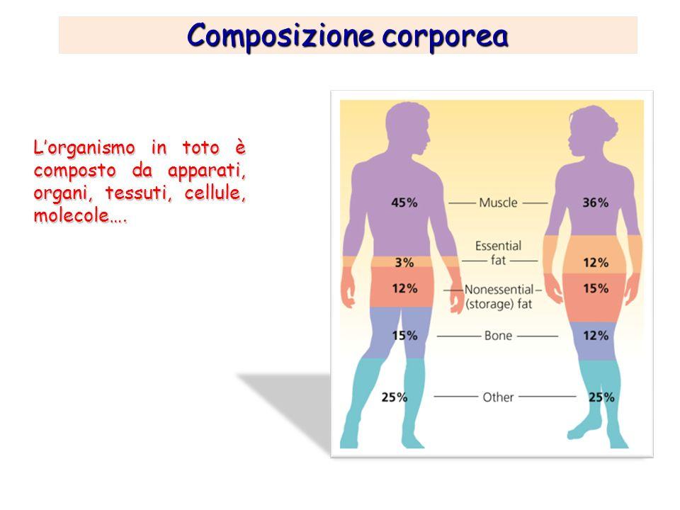 COMPOSIZIONE CORPOREA Mediamente il peso del corpo di un uomo adulto è costituito per l80-85% da massa magra (liquidi corporei, muscoli, scheletro, visceri, ecc.) e per il 15-20% da massa grassa (tessuto adiposo).