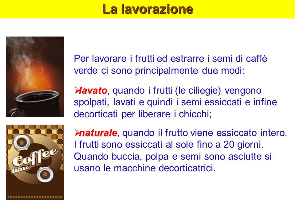 La lavorazione Per lavorare i frutti ed estrarre i semi di caffè verde ci sono principalmente due modi: lavato lavato, quando i frutti (le ciliegie) v