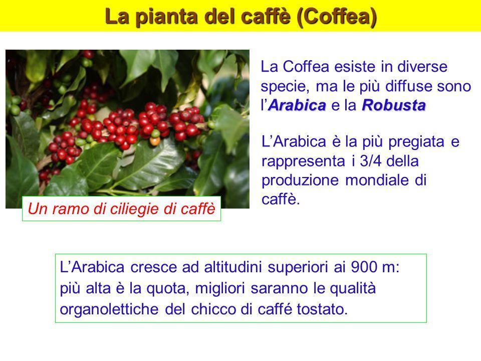 La pianta del caffè (Coffea) ArabicaRobusta La Coffea esiste in diverse specie, ma le più diffuse sono lArabica e la Robusta LArabica è la più pregiat