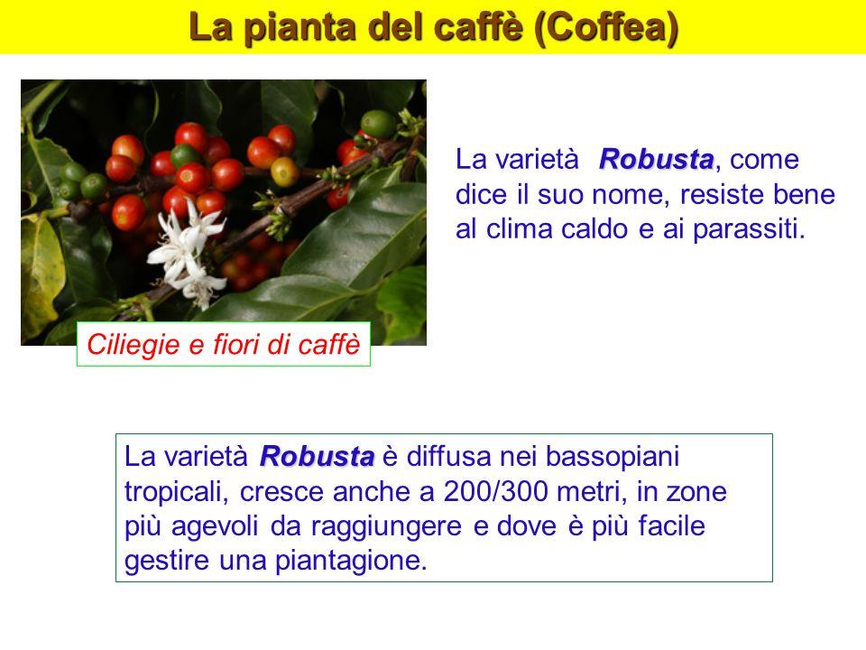 La pianta del caffè (Coffea) Robusta La varietà Robusta è diffusa nei bassopiani tropicali, cresce anche a 200/300 metri, in zone più agevoli da raggi
