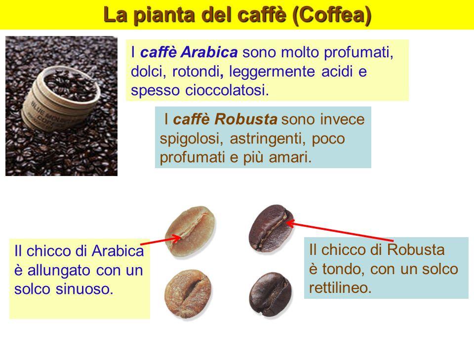 I caffè Arabica sono molto profumati, dolci, rotondi, leggermente acidi e spesso cioccolatosi. La pianta del caffè (Coffea) I caffè Robusta sono invec
