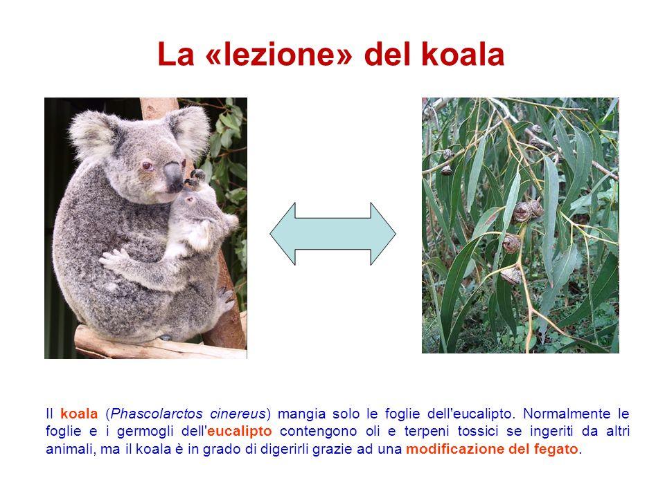 La «lezione» del koala Il koala (Phascolarctos cinereus) mangia solo le foglie dell'eucalipto. Normalmente le foglie e i germogli dell'eucalipto conte