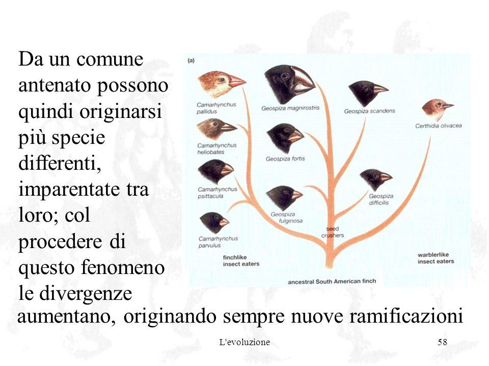 L'evoluzione58 Da un comune antenato possono quindi originarsi più specie differenti, imparentate tra loro; col procedere di questo fenomeno le diverg