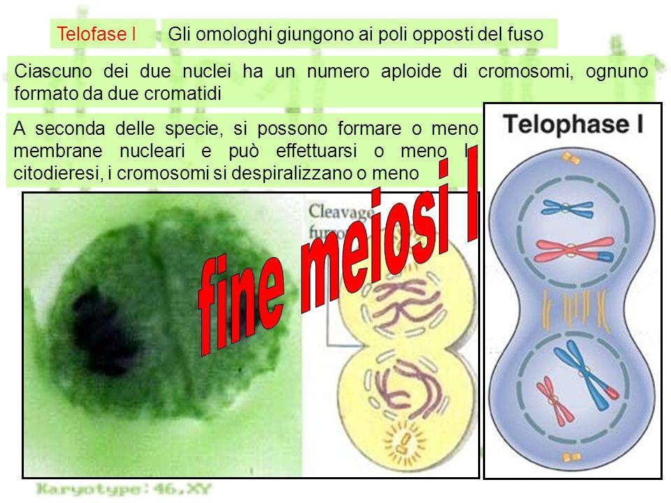 Meiosi12 Telofase IGli omologhi giungono ai poli opposti del fuso Ciascuno dei due nuclei ha un numero aploide di cromosomi, ognuno formato da due cro