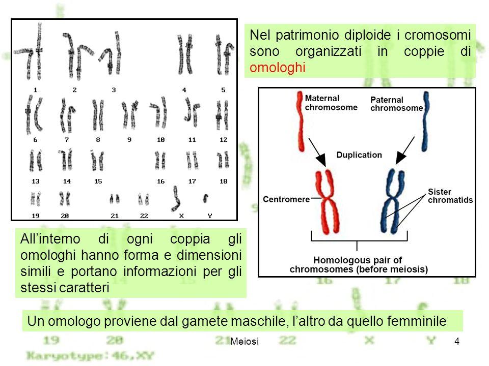 Meiosi5 La mitosi consiste in un sola divisione cellulare, che produce due nuclei diploidi.mitosi La meiosi consiste in due successive divisioni cellulari, che producono quattro nuclei aploidi.meiosi Nellinterfase che precede la meiosi i cromosomi si duplicano, generando due cromatidi uniti nel centromero.
