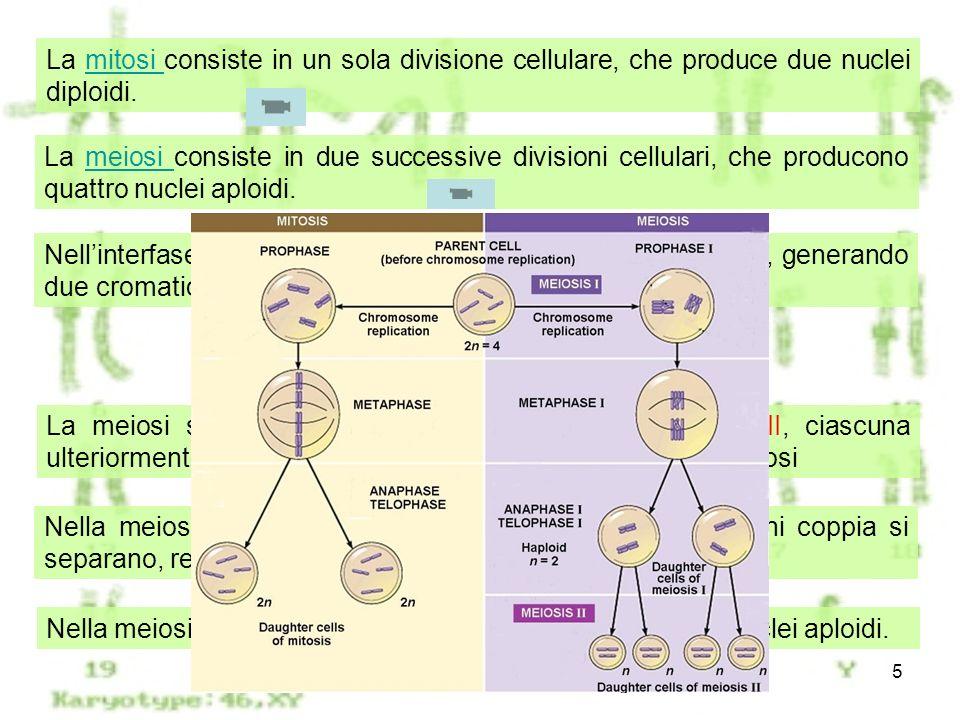 Meiosi5 La mitosi consiste in un sola divisione cellulare, che produce due nuclei diploidi.mitosi La meiosi consiste in due successive divisioni cellu