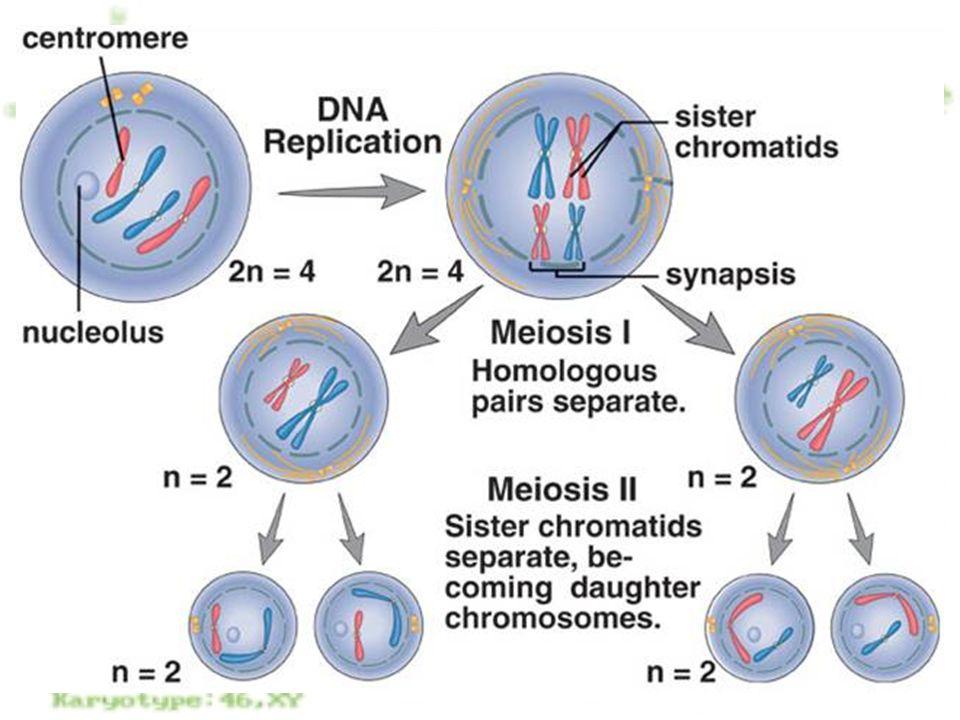7 Profase I I cromosomi si spiralizzano Avviene il crossing over I caratteri paterni e materni si mescolano sullo stesso cromosoma; aumenta la variabilità genetica