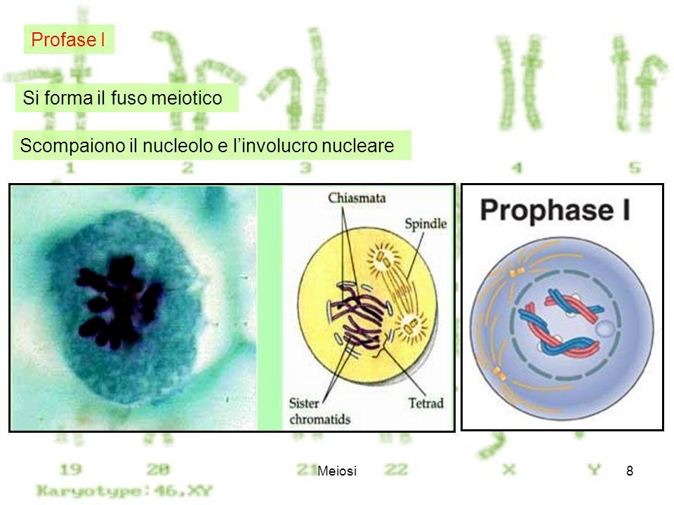Meiosi8 Si forma il fuso meiotico Scompaiono il nucleolo e linvolucro nucleare Profase I