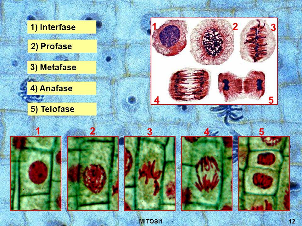 MITOSI112 1) Interfase 1 1 2 2 2) Profase 3 3 3) Metafase 4 4 4) Anafase 5 5 5) Telofase