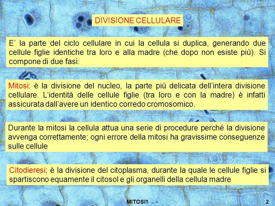 MITOSI113 Citodieresi La cellula madre viene divisa nelle due cellule figlie, avente ciascuna uno dei due nuclei appena formati Anche il citosol e gli organuli, precedentemente duplicati, vengono ripartiti tra le due nuove cellule A seconda delle specie, la separazione del citoplasma può cominciare già durante la mitosi, ma viene completata solo alla fine del ciclo cellulare