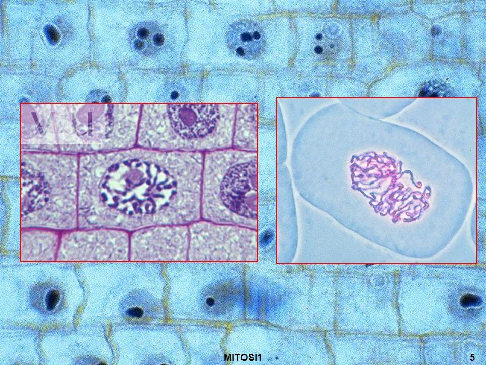 6 Metafase I centrioli si dispongono ai poli opposti della cellula Il fuso mitotico è formato completamente e ogni cromatide è attaccato ad una fibra diversa (in questo modo avremo una ripartizione completa ed identica dei cromosomi) I cromosomi si allineano nellequatore della cellula