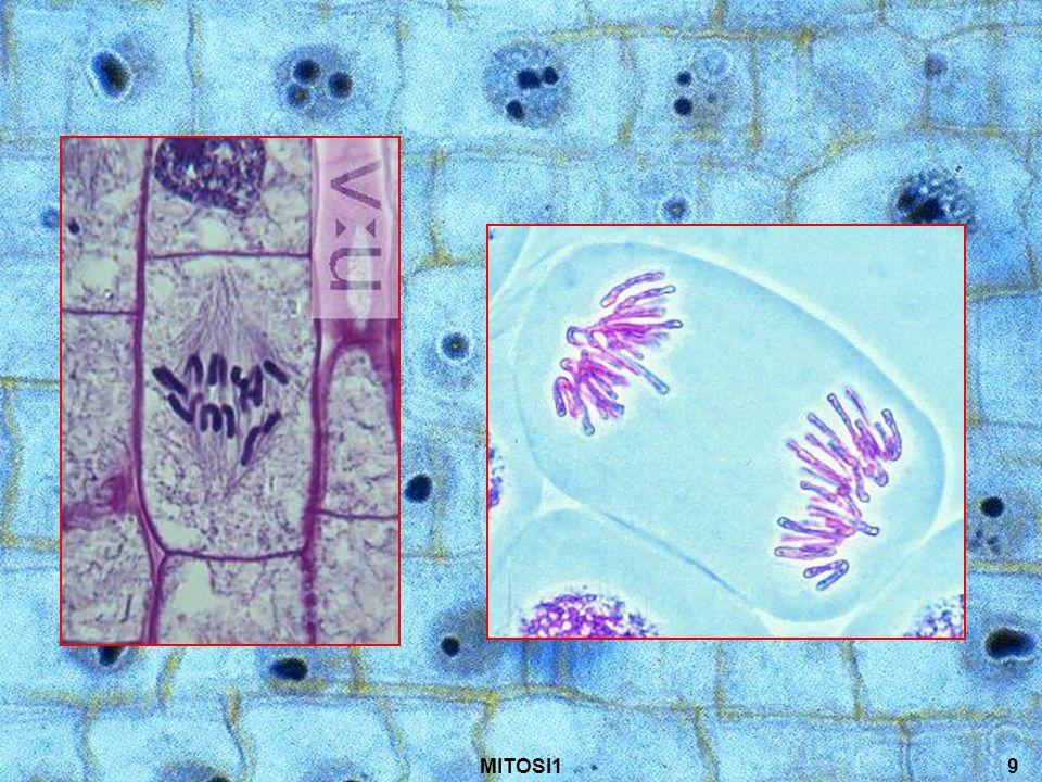10 Telofase I cromosomi raggiungono i poli opposti della cellula.