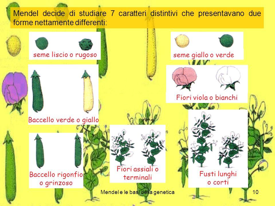Mendel e le basi della genetica10 Mendel decide di studiare 7 caratteri distintivi che presentavano due forme nettamente differenti: seme liscio o rugoso seme giallo o verde Baccello verde o giallo Fiori viola o bianchi Fusti lunghi o corti Baccello rigonfio o grinzoso Fiori assiali o terminali