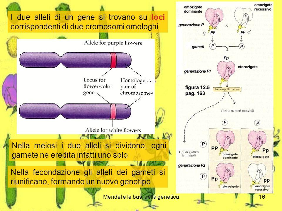 Mendel e le basi della genetica16 I due alleli di un gene si trovano su loci corrispondenti di due cromosomi omologhi Nella meiosi i due alleli si dividono, ogni gamete ne eredita infatti uno solo Nella fecondazione gli alleli dei gameti si riunificano, formando un nuovo genotipo