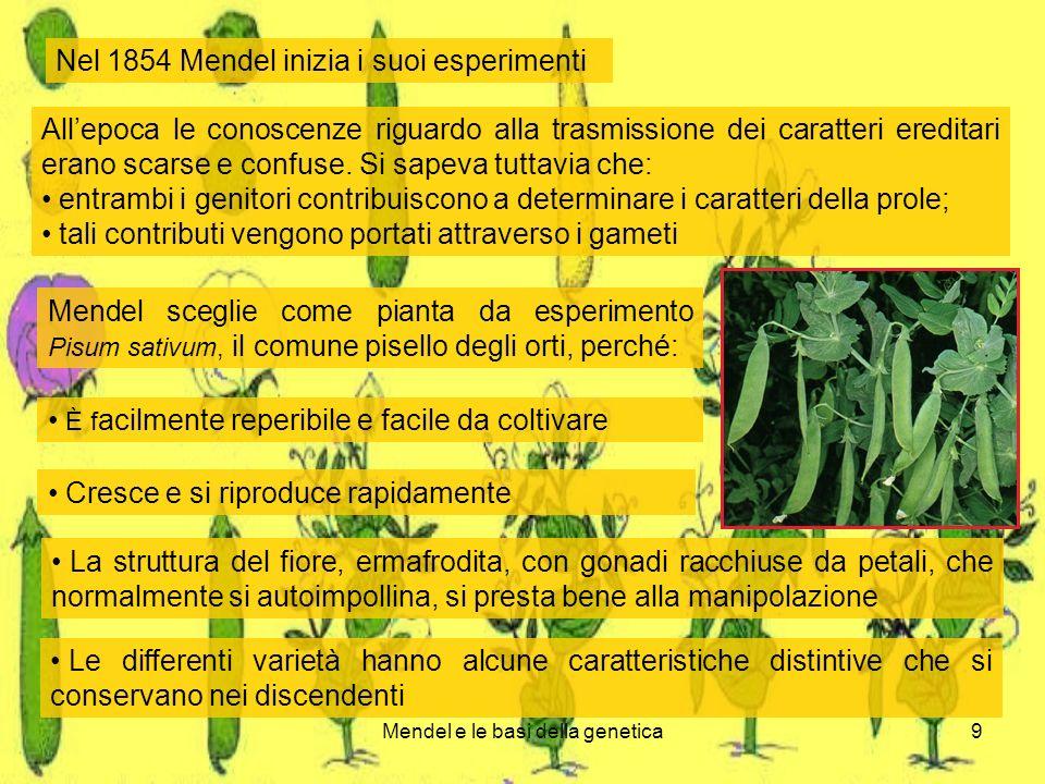 Mendel e le basi della genetica9 Nel 1854 Mendel inizia i suoi esperimenti Allepoca le conoscenze riguardo alla trasmissione dei caratteri ereditari erano scarse e confuse.