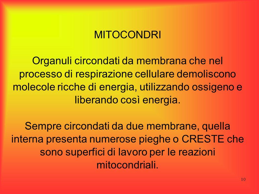 10 MITOCONDRI Organuli circondati da membrana che nel processo di respirazione cellulare demoliscono molecole ricche di energia, utilizzando ossigeno