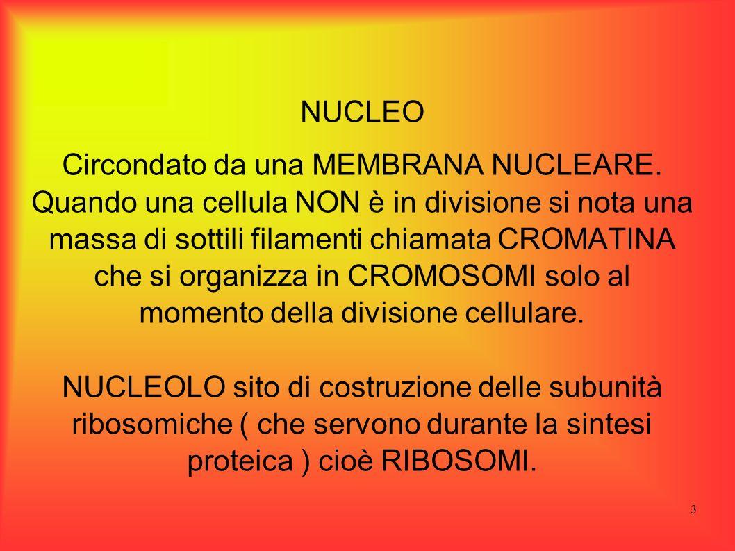 3 NUCLEO Circondato da una MEMBRANA NUCLEARE. Quando una cellula NON è in divisione si nota una massa di sottili filamenti chiamata CROMATINA che si o