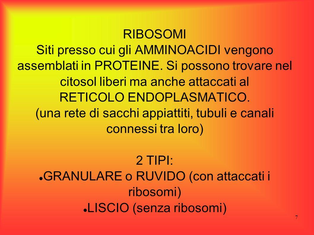 7 RIBOSOMI Siti presso cui gli AMMINOACIDI vengono assemblati in PROTEINE. Si possono trovare nel citosol liberi ma anche attaccati al RETICOLO ENDOPL