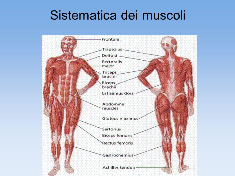 I muscoli del corpo umano sono più di 600 e costituiscono circa la metà del nostro peso corporeo.