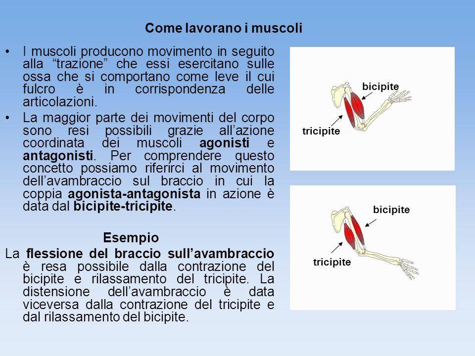 I muscoli producono movimento in seguito alla trazione che essi esercitano sulle ossa che si comportano come leve il cui fulcro è in corrispondenza de