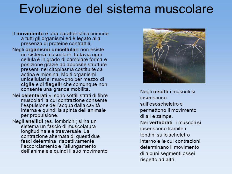 Evoluzione del sistema muscolare Il movimento è una caratteristica comune a tutti gli organismi ed è legato alla presenza di proteine contrattili. Neg