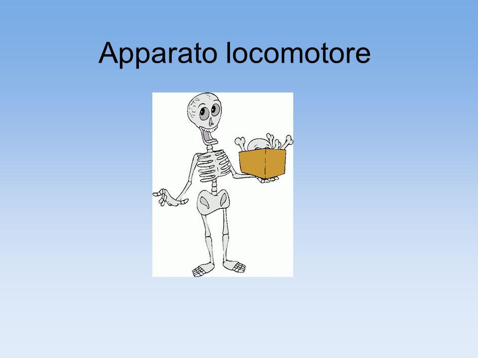 Sistema scheletrico Contrazione e sviluppo di forza Tessuto osseo sostegnoProtezione Sistema muscolare Riserva di Sali minerali Tessuto cartilagineo Ossaarticolazioni capotroncoarti Tessuto muscolare striato scheletrico movimento sono unita da