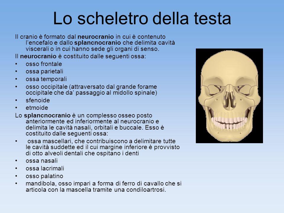 Lo scheletro della testa Il cranio è formato dal neurocranio in cui è contenuto lencefalo e dallo splancnocranio che delimita cavità viscerali o in cui hanno sede gli organi di senso.