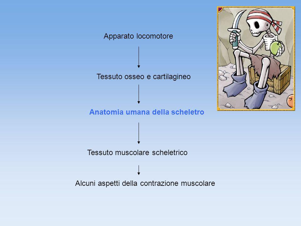 Apparato locomotore Tessuto osseo e cartilagineo Anatomia umana della scheletro Tessuto muscolare scheletrico Alcuni aspetti della contrazione muscolare