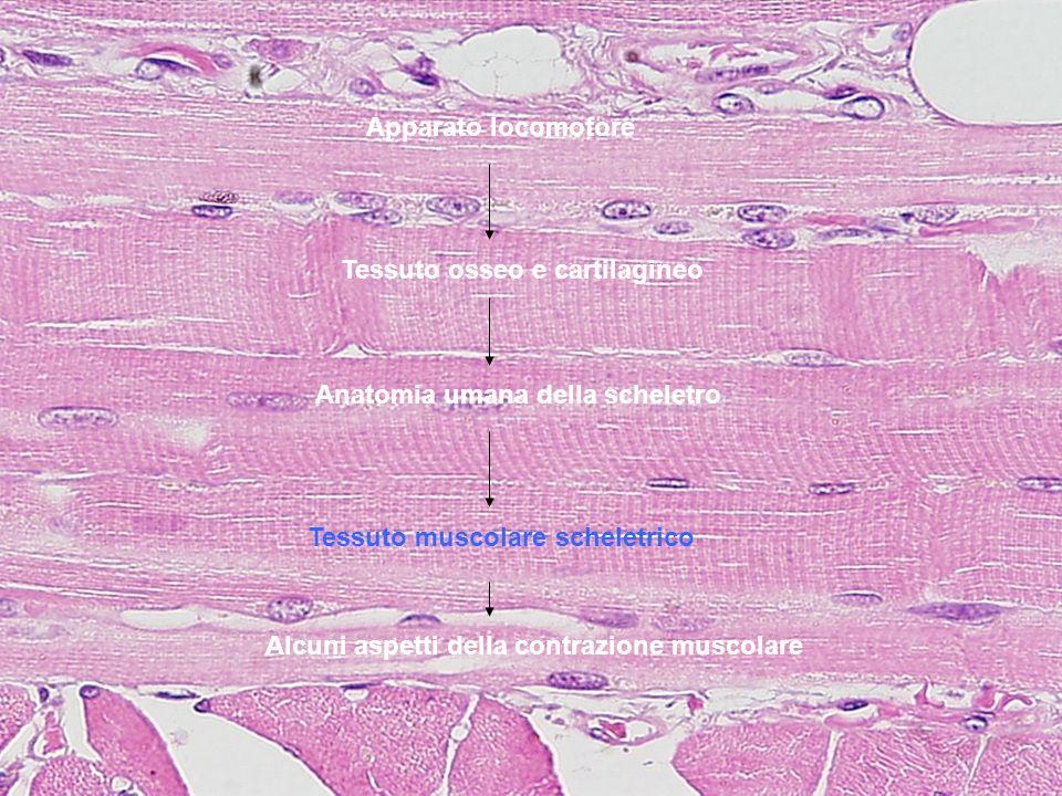Apparato locomotore Tessuto osseo e cartilagineo Anatomia umana della scheletro Tessuto muscolare scheletrico Alcuni aspetti della contrazione muscola