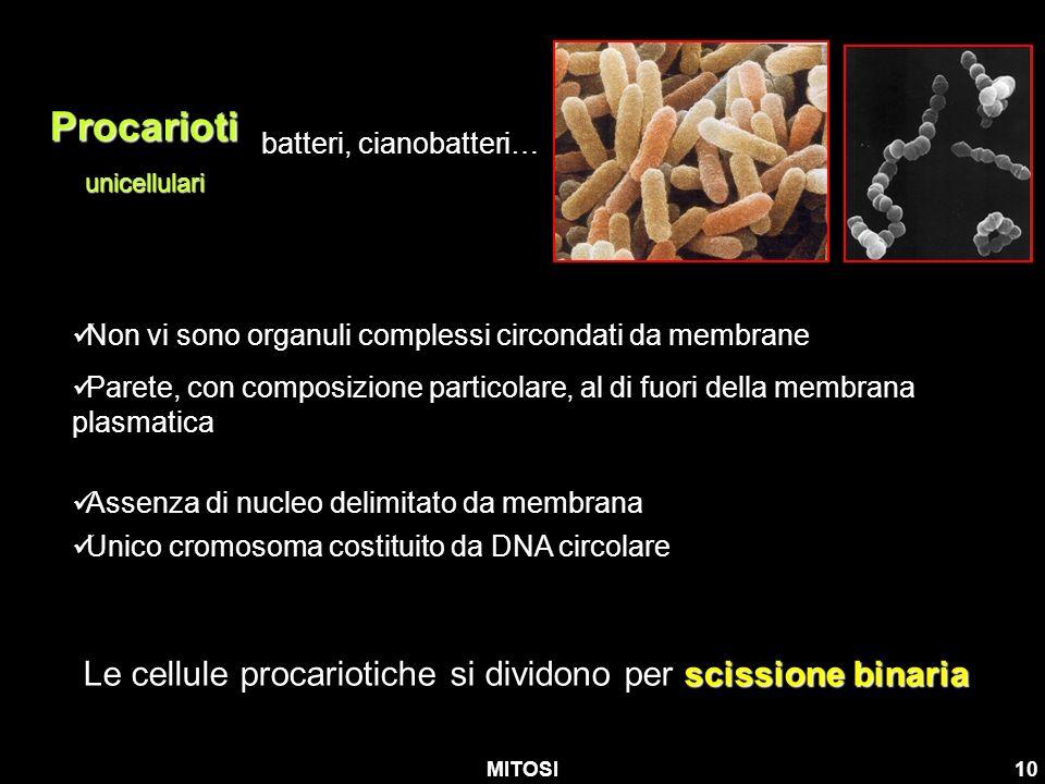 MITOSI10 Procariotiunicellulari batteri, cianobatteri… Non vi sono organuli complessi circondati da membrane Parete, con composizione particolare, al