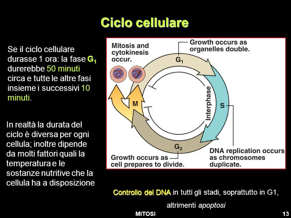 MITOSI13 Ciclo cellulare Controllo del DNA Controllo del DNA in tutti gli stadi, soprattutto in G1, altrimenti apoptosi Se il ciclo cellulare durasse