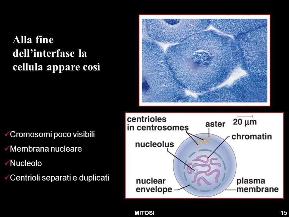 MITOSI15 Alla fine dellinterfase la cellula appare così Cromosomi poco visibili Membrana nucleare Nucleolo Centrioli separati e duplicati