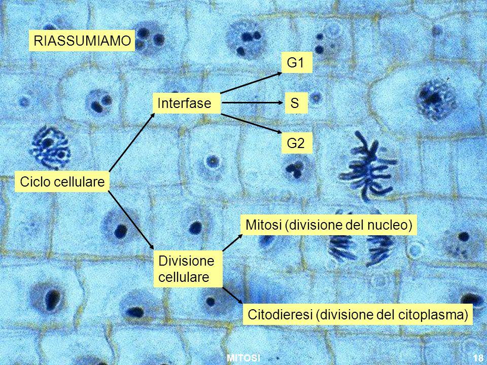 MITOSI18 RIASSUMIAMO Ciclo cellulare Interfase Divisione cellulare G1 S G2 Mitosi (divisione del nucleo) Citodieresi (divisione del citoplasma)