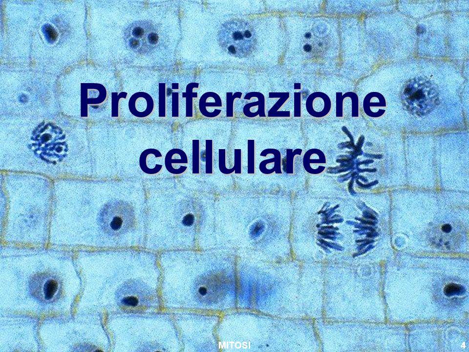 MITOSI4 Proliferazione cellulare