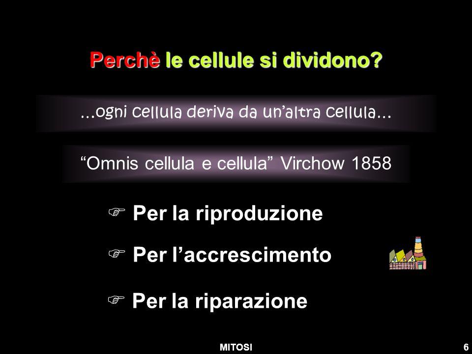 MITOSI6 Perchè le cellule si dividono? …ogni cellula deriva da unaltra cellula… Per laccrescimento Per la riproduzione Per la riparazione Omnis cellul
