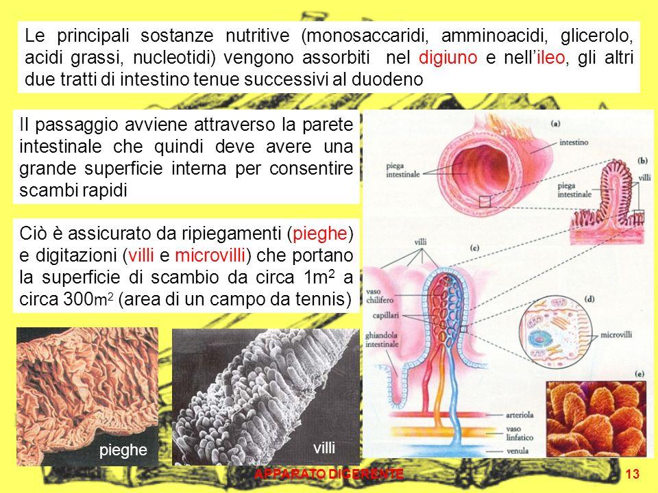 APPARATO DIGERENTE13 Il passaggio avviene attraverso la parete intestinale che quindi deve avere una grande superficie interna per consentire scambi r