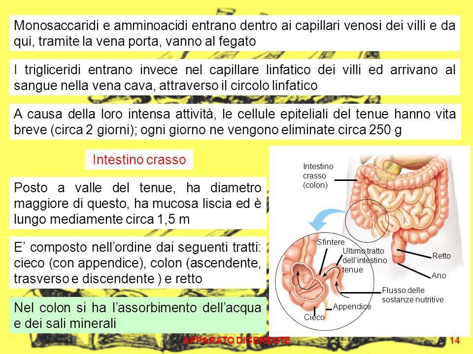 APPARATO DIGERENTE14 Monosaccaridi e amminoacidi entrano dentro ai capillari venosi dei villi e da qui, tramite la vena porta, vanno al fegato I trigliceridi entrano invece nel capillare linfatico dei villi ed arrivano al sangue nella vena cava, attraverso il circolo linfatico Intestino crasso Posto a valle del tenue, ha diametro maggiore di questo, ha mucosa liscia ed è lungo mediamente circa 1,5 m Intestino crasso (colon) Sfintere Ultimo tratto dellintestino tenue Appendice Cieco Ano Retto Flusso delle sostanze nutritive E composto nellordine dai seguenti tratti: cieco (con appendice), colon (ascendente, trasverso e discendente ) e retto Nel colon si ha lassorbimento dellacqua e dei sali minerali A causa della loro intensa attività, le cellule epiteliali del tenue hanno vita breve (circa 2 giorni); ogni giorno ne vengono eliminate circa 250 g
