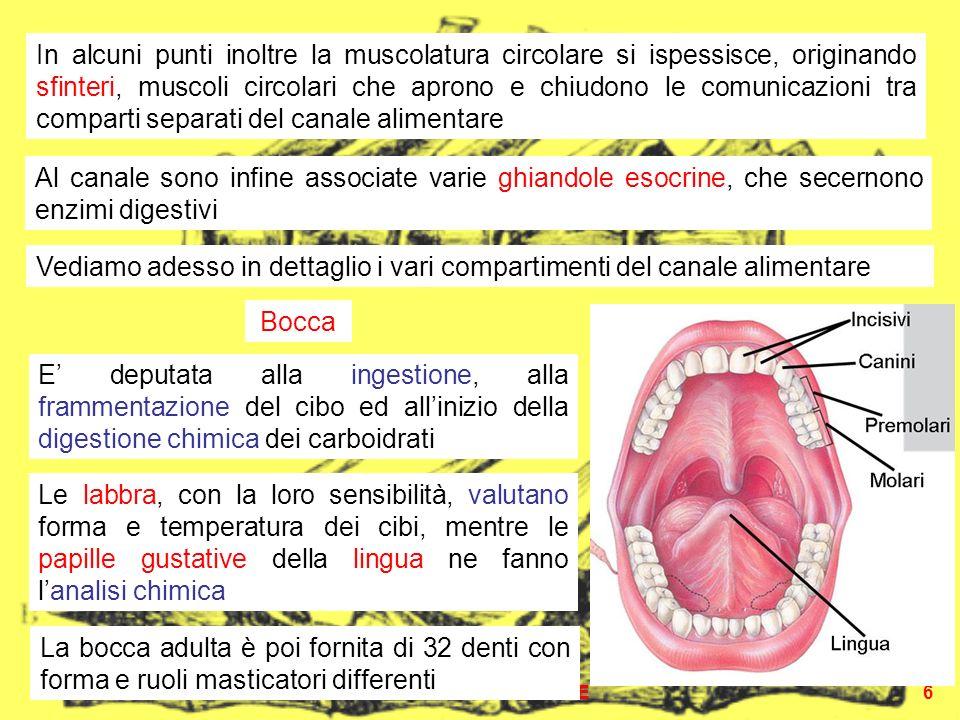 APPARATO DIGERENTE6 In alcuni punti inoltre la muscolatura circolare si ispessisce, originando sfinteri, muscoli circolari che aprono e chiudono le comunicazioni tra comparti separati del canale alimentare Al canale sono infine associate varie ghiandole esocrine, che secernono enzimi digestivi Bocca Vediamo adesso in dettaglio i vari compartimenti del canale alimentare E deputata alla ingestione, alla frammentazione del cibo ed allinizio della digestione chimica dei carboidrati Le labbra, con la loro sensibilità, valutano forma e temperatura dei cibi, mentre le papille gustative della lingua ne fanno lanalisi chimica La bocca adulta è poi fornita di 32 denti con forma e ruoli masticatori differenti