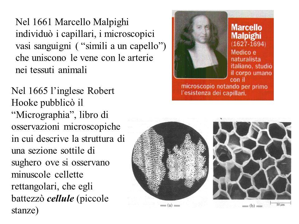 Nel 1661 Marcello Malpighi individuò i capillari, i microscopici vasi sanguigni ( simili a un capello) che uniscono le vene con le arterie nei tessuti