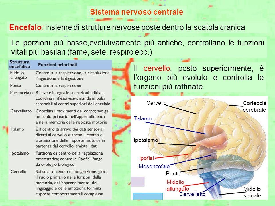 Sistema nervoso centrale Mesencefalo Talamo Ipotalamo Ipofisi Ponte Midollo allungato Cervelletto Midollo spinale Cervello Corteccia cerebrale Encefal