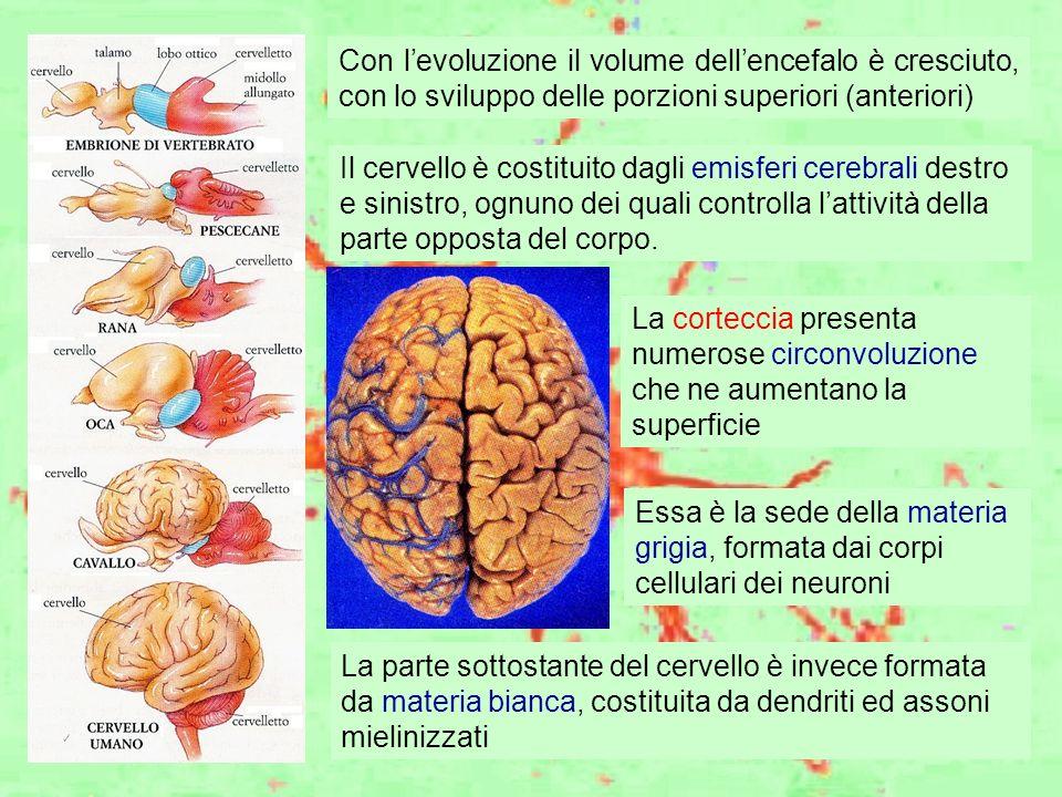 Con levoluzione il volume dellencefalo è cresciuto, con lo sviluppo delle porzioni superiori (anteriori) Il cervello è costituito dagli emisferi cereb
