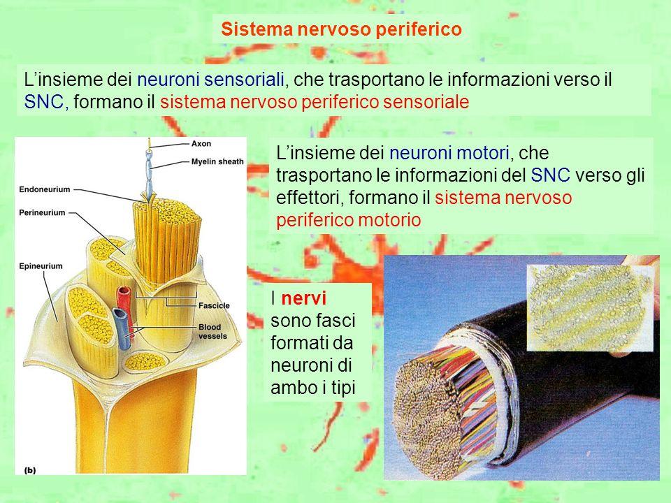 Sistema nervoso periferico Linsieme dei neuroni sensoriali, che trasportano le informazioni verso il SNC, formano il sistema nervoso periferico sensor