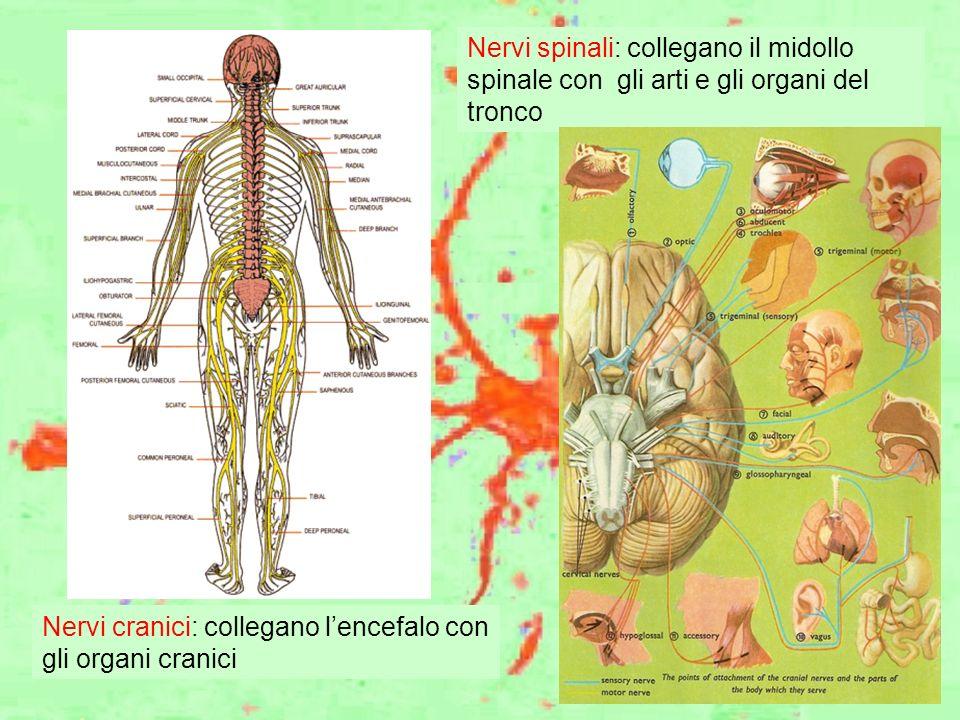 Nervi spinali: collegano il midollo spinale con gli arti e gli organi del tronco Nervi cranici: collegano lencefalo con gli organi cranici