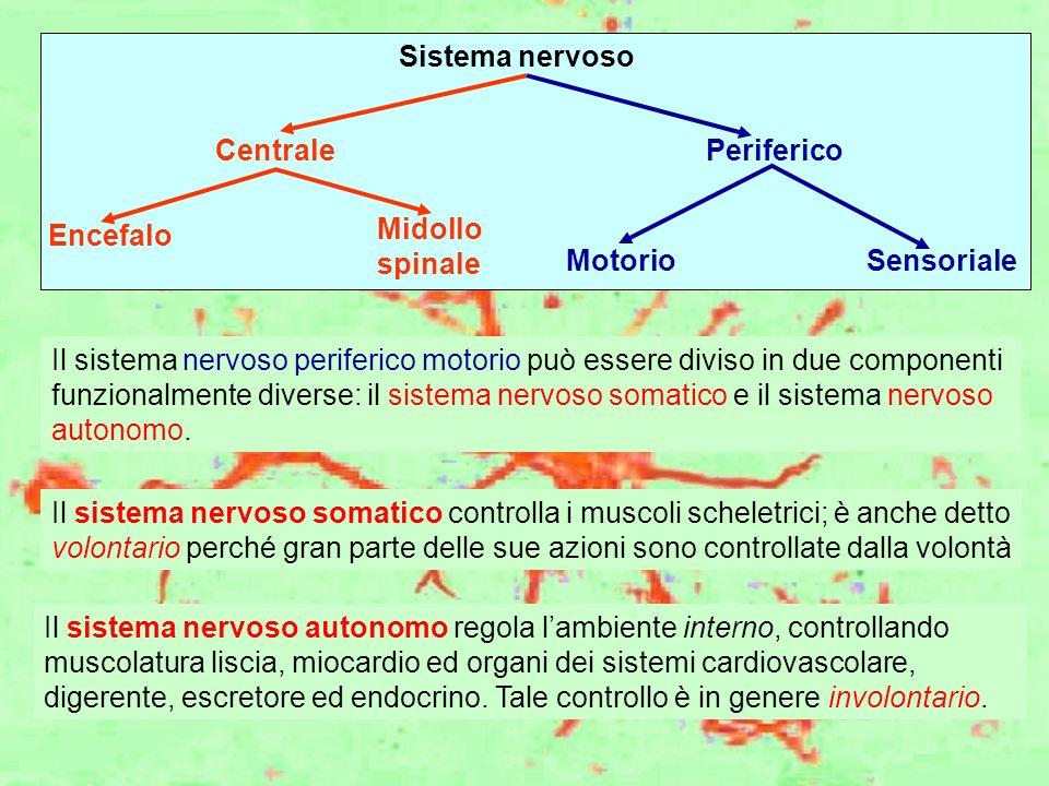 Sistema nervoso CentralePeriferico Encefalo Midollo spinale MotorioSensoriale Il sistema nervoso periferico motorio può essere diviso in due component