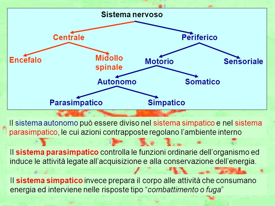 Sistema nervoso CentralePeriferico Encefalo Midollo spinale MotorioSensoriale SomaticoAutonomo SimpaticoParasimpatico Il sistema autonomo può essere d