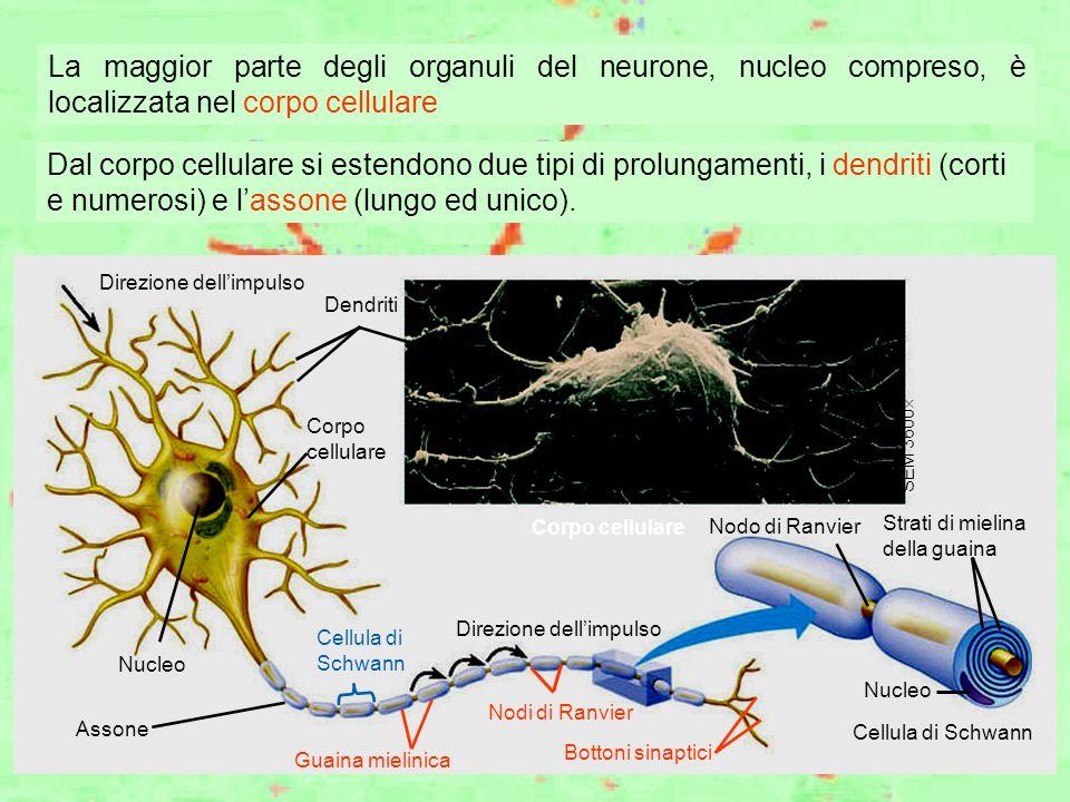 Cellula di Schwann Direzione dellimpulso Dendriti Corpo cellulare Nucleo Assone Cellula di Schwann Direzione dellimpulso Guaina mielinica Nodi di Ranv