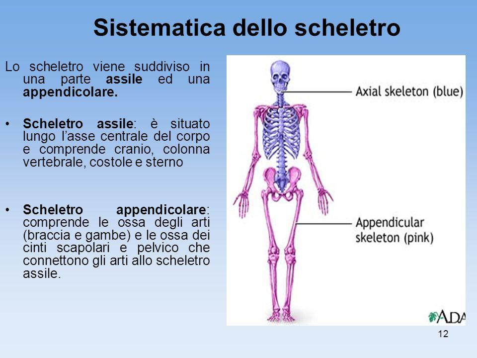 12 Lo scheletro viene suddiviso in una parte assile ed una appendicolare. Scheletro assile: è situato lungo lasse centrale del corpo e comprende crani
